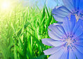 Chicory on the background of green grass Royalty Free Stock Photos