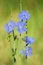 Chicory Royalty Free Stock Photo