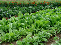 Chicory and cabbage bad Royalty Free Stock Photography