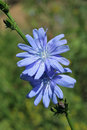 Chicory, cichorium intybus Stock Photography