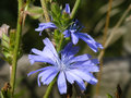 Chicory cichorium intybus found along roadsides waste ground rough grassland and in particular calcareous soils this particular Stock Images