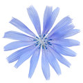 Chicory close flower isolated on white background Royalty Free Stock Photography
