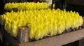Chicory farm Royalty Free Stock Photo