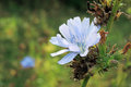Chicory in the field Royalty Free Stock Photo