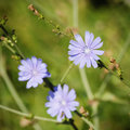 Chicory flower blue over natural green background Royalty Free Stock Photography
