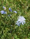 Chicory flower selective focus on the Royalty Free Stock Photo
