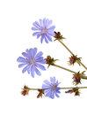 Chicory flowers isolated on white background Stock Images