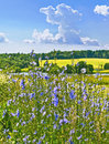 Chicory succory cichorium intybus moscow region russia Stock Photo