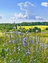 Chicory succory cichorium intybus moscow region russia Stock Photo