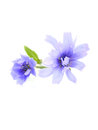 Chicory succory flowers isolated on white background Stock Images