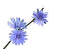 Chicory wildflower wild flower isolated on white background Royalty Free Stock Photo