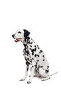 Chien dalmatien d isolement sur le blanc Photo stock