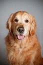 Chien de golden retriever posant dans le studio fond gris Photo stock