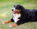 Chien de montagne de bernese Photo stock
