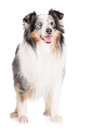 Chien de sheltie de merle Photos stock