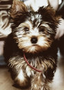 Chien terrier de Yorkshire (York) Photo stock
