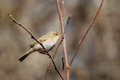 Chiffchaff on a branch eurasian in spring Royalty Free Stock Photography