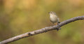 Chiffchaff on a branch phylloscopus collybita perches thin in lithuanian forest Royalty Free Stock Photo