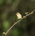 Chiffchaff small bird in springtime Stock Photography