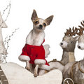 Chihuahua, 1 year old, in Christmas sleigh Royalty Free Stock Images