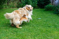 Chihuahua and australian shepherd frolic on the garden jumping playing green grass Stock Photography