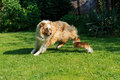 Chihuahua and australian shepherd frolic on the garden jumping playing green grass Royalty Free Stock Image