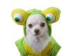 Chihuahua big eye Royalty Free Stock Photo
