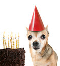 Chihuahua with birthday cake and a party hat Royalty Free Stock Images