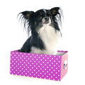 Chihuahua in box front of white background Royalty Free Stock Photos