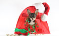 Chihuahua and christmas time. Royalty Free Stock Photos