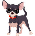Chihuahua cute dog of breed Stock Photo
