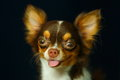 Chihuahua, cute, dog,focus on eye. Royalty Free Stock Photo