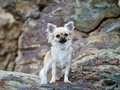 Chihuahua a cute on the rocks Stock Image