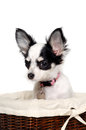 Chihuahua dog in a basket is sitting isolated on white background Stock Photos