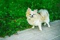 Chihuahua dog breed is walking in city park in summer Stock Photos