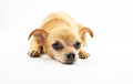 Chihuahua dog cute on white background Royalty Free Stock Image