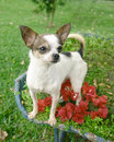 Chihuahua dog in flowers Royalty Free Stock Photo