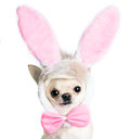 Chihuahua dog in a funny costume of an easter hare isolated Stock Photos