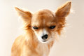 Chihuahua dog head with disgruntled expression close up on neutral background Royalty Free Stock Photos