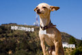 Chihuahua dog by the hollywood sign in front of a mountain looking like a champ Stock Image