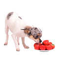 Chihuahua dog with plate of food Royalty Free Stock Photos