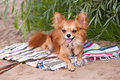 Chihuahua dog relaxing on the beach Royalty Free Stock Photos