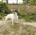 Chihuahua dog on rock Royalty Free Stock Photo