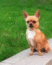 Chihuahua dog sitting on green grass Stock Images