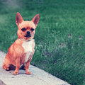 Chihuahua dog sitting on green grass and looks into distance with retro filter effect Stock Photos