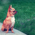 Chihuahua dog sitting on green grass with retro filter effect Royalty Free Stock Images