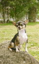 Chihuahua dog smiling Royalty Free Stock Photo