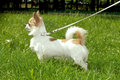 Chihuahua dog standing squarely and alert Royalty Free Stock Photo