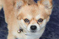 Chihuahua dog with tears Royalty Free Stock Photo