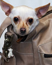 Chihuahua doggy bag Stock Images